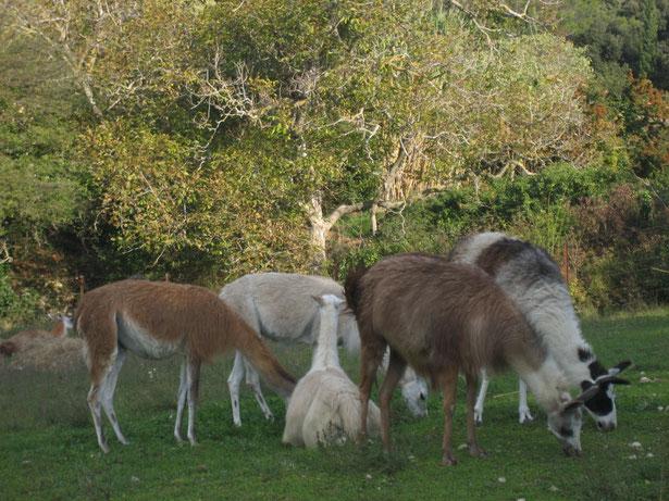 les lamas dans le pré à l'automne