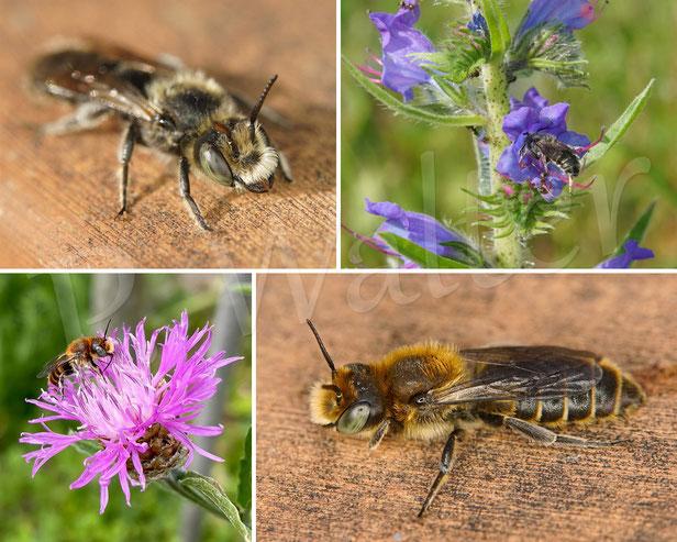 Natternkopf-Mauerbiene, Osmia adunca