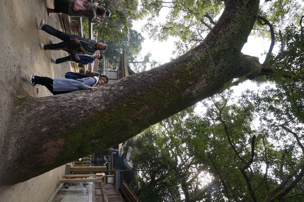 巨大な木発見。