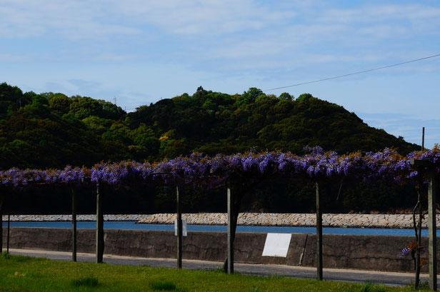 今まさに藤の花が満開です。(写真は4月25日)