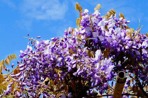 青空と藤の花のコントラストがすばらしいです。