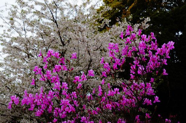 山桜とツツジが見ごろでした。つづく・・・