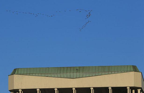 Kraniche im Flug über dem Marler Rathaus