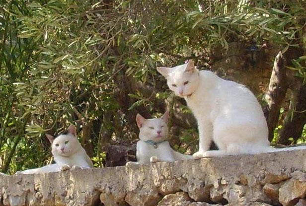 Kretische Kätzchen beim Faulenzen