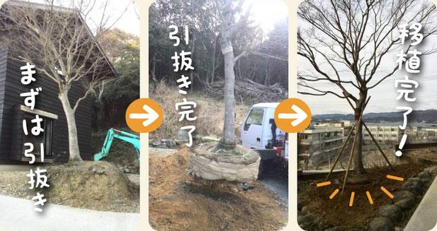 モミジの木の移植・移動・お引越【門西造園】浜松・湖西・磐田・豊橋