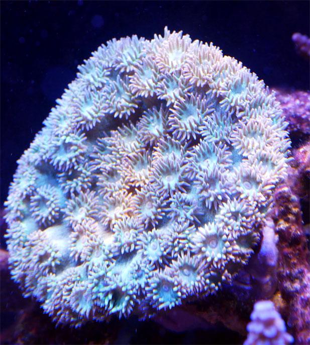 スリバチサンゴ