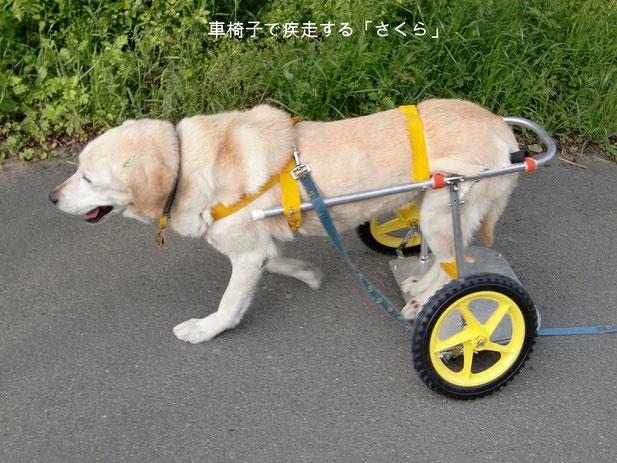 犬用車椅子で走るラブラドールレトリバー我が家の「さくら」