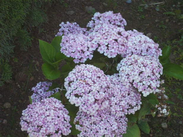 Was hortensia