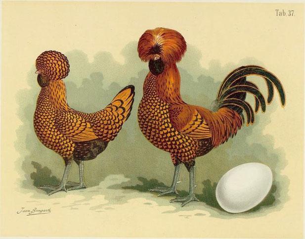 Paduaner schwarz-goldgesäumt - aus: Geflügel-Album : III Abtheilungen - 150 Tafeln / nach der Natur gemalt von Jean Bungartz, Thiermaler (1885)