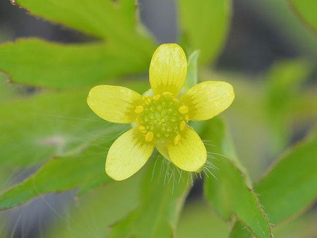 渡良瀬遊水地に生育するコキツネノボタン(花)の画像