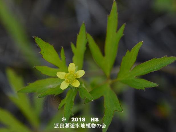 渡良瀬遊水地に生育するコキツネノボタンの全体画像と説明文書