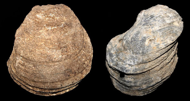 Neopycnodonte cochlear, Macchia della Turchina (Monteromano, VT)