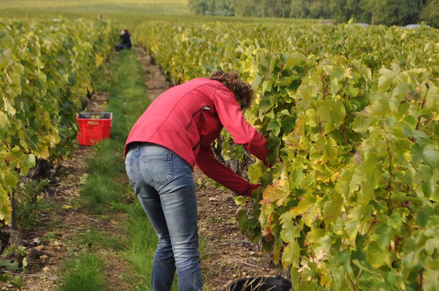hand-harvest-workshop-Loire-Valley-vineyard-Amboise-Tours-Vouvray-wine-tours-wine-tastings