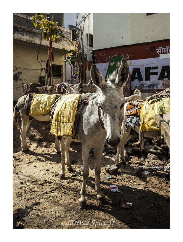 • Tête de mule • Pushkar