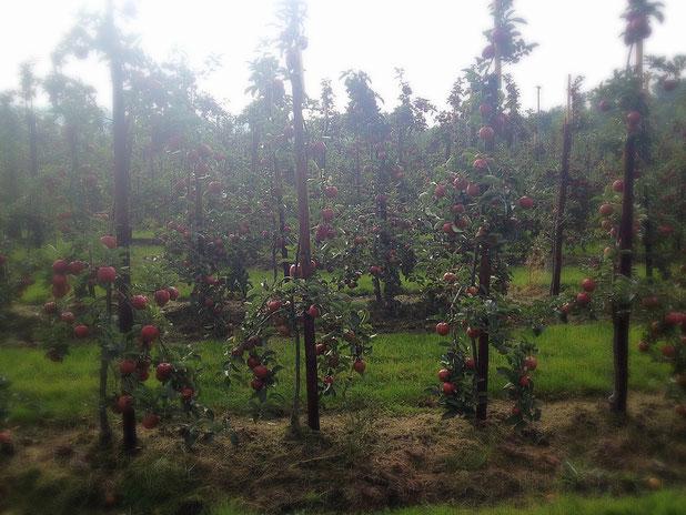 Apfelbäume, aufgereiht wie Zinnsoldaten