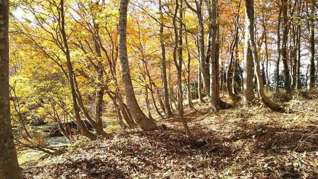 武周ヶ池に着きました。   ブナ林と紅葉そして神秘的な山上の池。感動モノです。                   陽射しを受けたこの斜面でのお昼も最高でした。