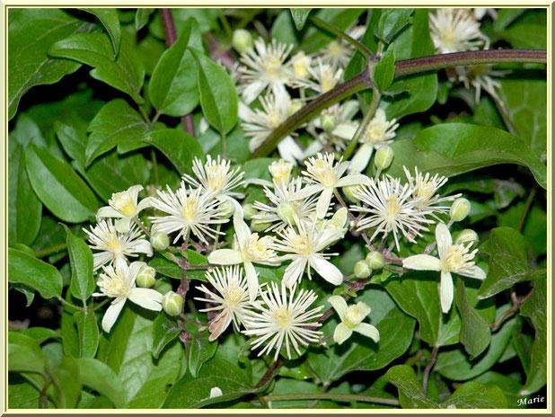 Arbuste à fleurs blanches à Saint Rémy de Provence, Alpilles (13)