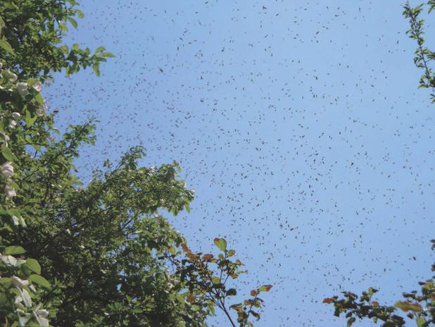 Un essaim peu après qu'il ait quitté sa ruche.