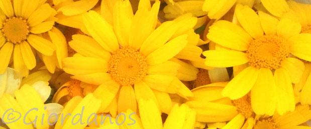 Färberkamille Blüten