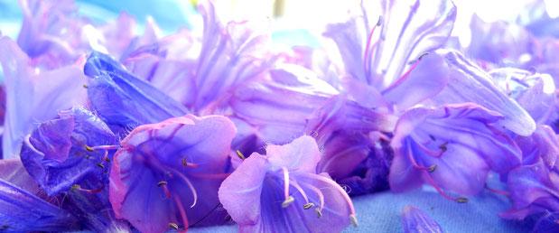Natternkopf-Frühlingsblumen