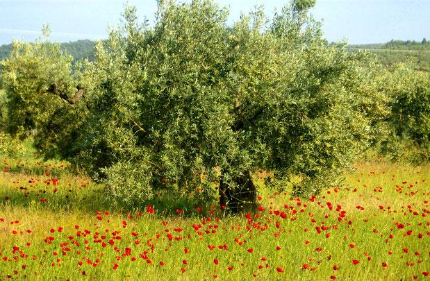 Mohnblumen um Olivenbaum