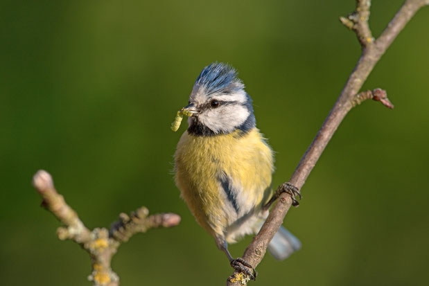 Blaumeise (Foto: NABU/Rita Priemer)