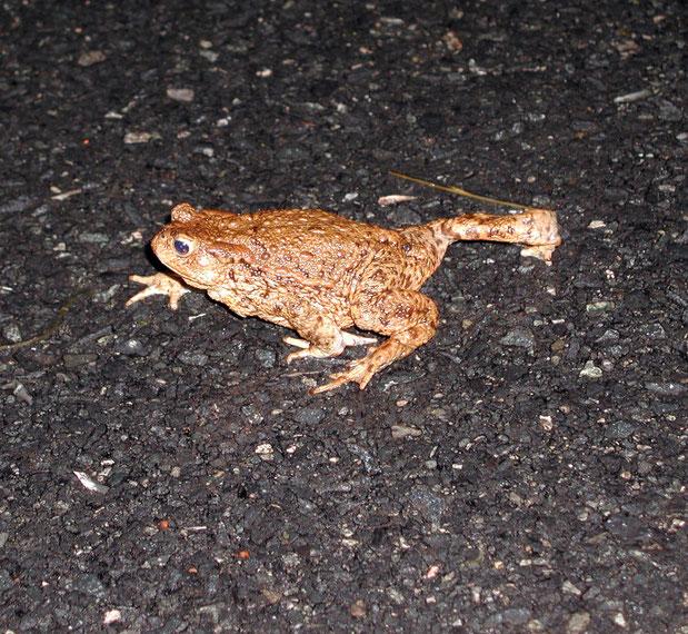 Erdkröte überquert eine Straße - NABU/Thomas Beuster