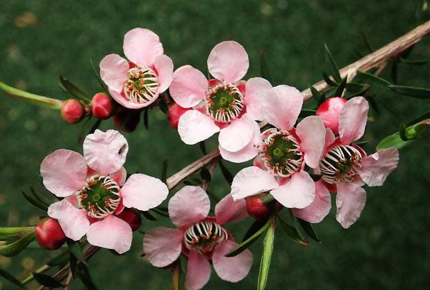 Teebaumöl, Pflanze