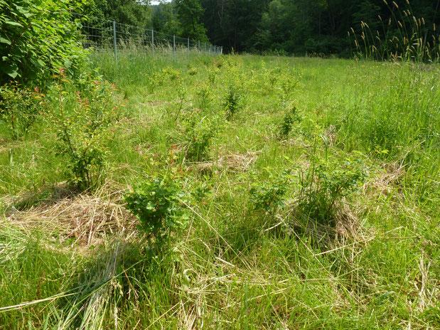 Die freigeschnittenen Heckenpflanzen unterhalb der Aggertalsperre.