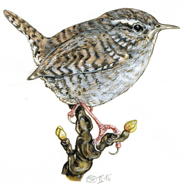 "Illustration nach der Natur ""Zaunkönig"", Gouache Natural history illustration wren © Caroline Ronnefeldt"