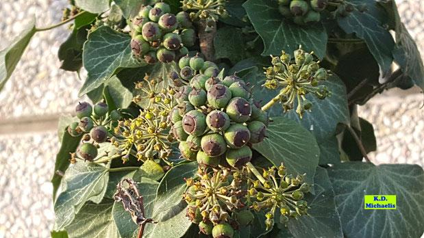 Gelbgrüne Efeublüten und Samen im strahlenden Sonnenschein - aufgenommen Mitte November von K.D. Michaelis
