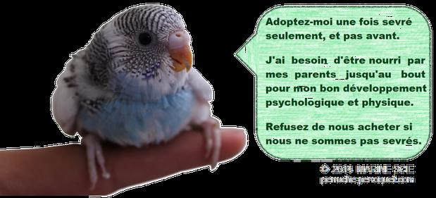 Adoptez votre perroquet une fois sevré seulement.