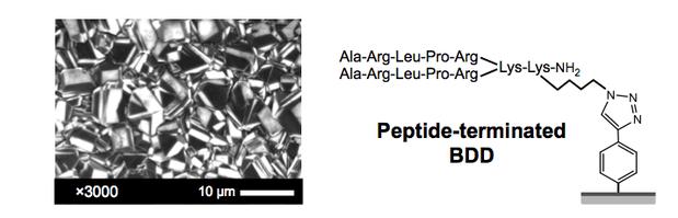 図4 BDD表面(左)、peptide dimerをBDDに修飾(文献2)。