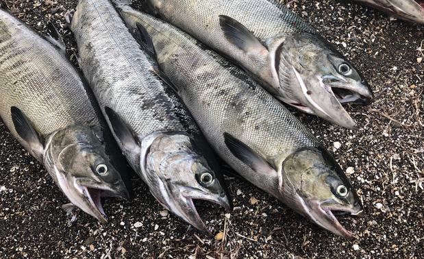 スタッフブログ 秋の味覚「鮭」 釣り上げた鮭(アキアジ)の写真
