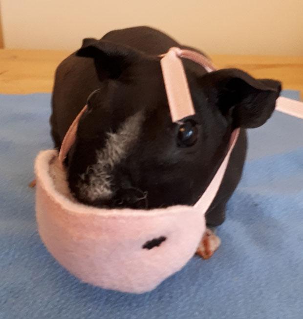Unser Model Wombi von Bayern zeigt sich lässig  mit dem Meerschweinchenschnutenschutz