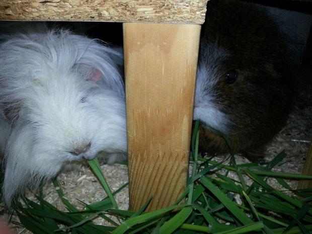 Snowy und April testen die Graslieferung von Andrea -:)
