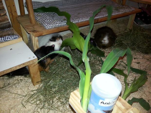 Schlürf, schluck - im Winter bekommen wir den Mais immer nur getrocknet