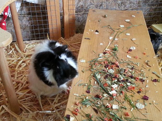Wilma Freischmeckerschwein, findet immer ein Leckli