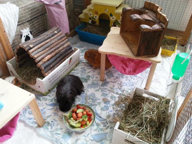 Bailey, kleines süßes Frechschweinchen. Roxanne traut sich unter der Hängematte hervor.sich hervor.