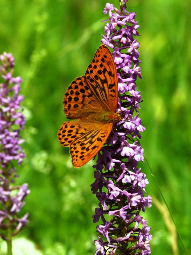 Tagfalter und Orchidee: Kaisermantel (Argynnis paphia) an Mücken-Händelwurz (Gymnadenia conopsea)