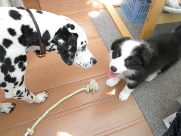看板犬見習いは「サラ」8月25日生まれです。宜しくお願いします。