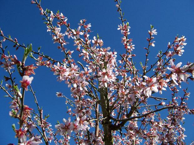 amandes-amandiers-fleurs