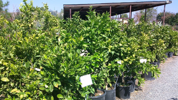 Some of our orange trees here at the nursery