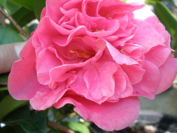 Spellbound camellia