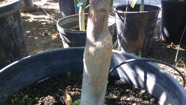 Graft bump on citrus trunk
