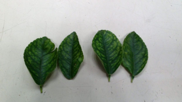 Deficient lime leaves