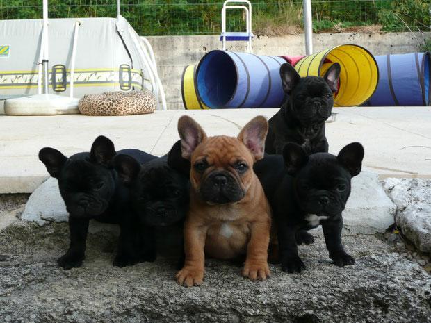 5 bouledogues sur un mur :-)