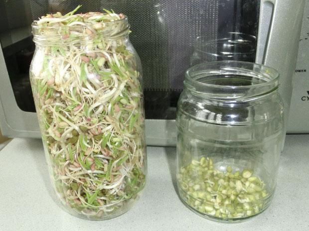 Rechts daneben 2 Tage alte Mungobohnensprossen...wandern dann ins große Keimglas