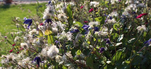 Clematis integrifolia blüht ununerbrochen seit dem Mai. Inzwischen überwiegen die flaumigen Samenstände.