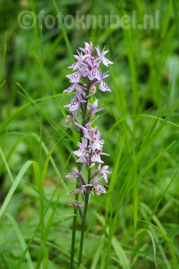 wilde orchidee, Bürchen, Zwitserland, Natuur, Wandelen, bloemen,